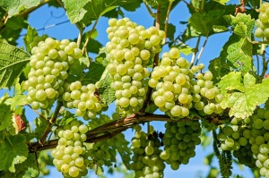 grape bunches hang from a vine